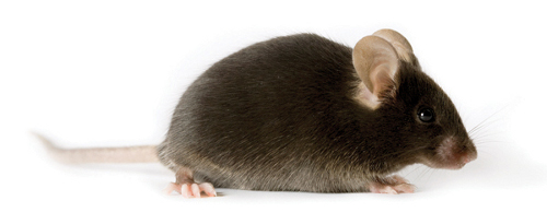 mice studies elixir in harvard